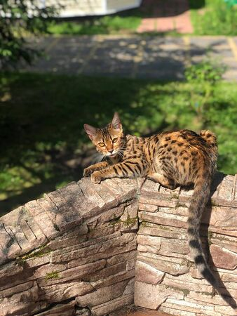 young bengal cat on the lurk in nature