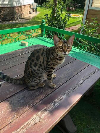 young bengal cat on the lurk in nature Foto de archivo - 132126001