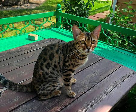 young bengal cat on the lurk in nature Foto de archivo - 132125617