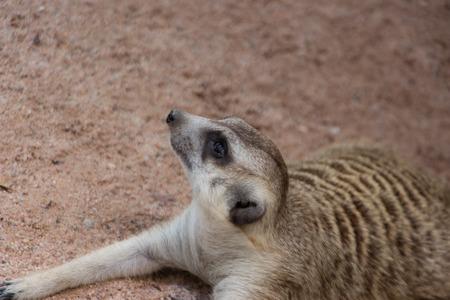 MeerKat in Thailand zoo