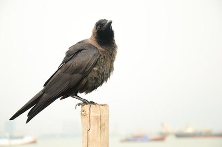 The crow in Penang, Malaysia Archivio Fotografico
