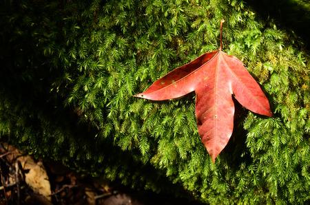 Red Maple Leaf At Phukradung National Park, Loei, Thailand