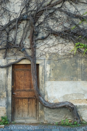 vintage door and old crooked tree in downtown Prague  photo