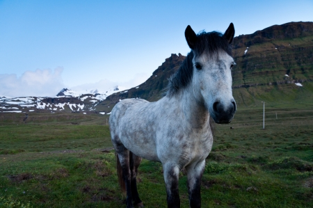 horses of Iceland grazing in the evening landscape photo