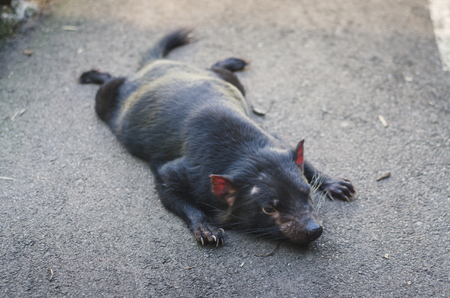 taz: Tasman devil, endangered animal species