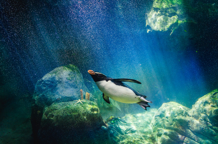 Penguin hunting for fish underwater Stock Photo