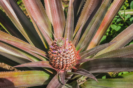 pineapple growing at the plantation in the tropes Stock Photo