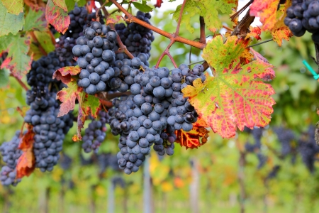 Mature grapes in the vineyard photo