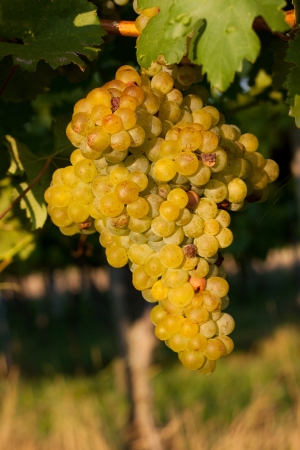 pinot grigio: Mature grapes in the vineyard