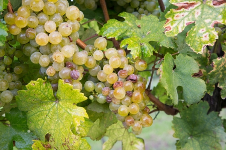 pinot grigio: Mature green   white grapes in the vineyards  Ready for harvest
