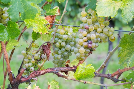 pinot grigio: Natural young grapes in the vineyard
