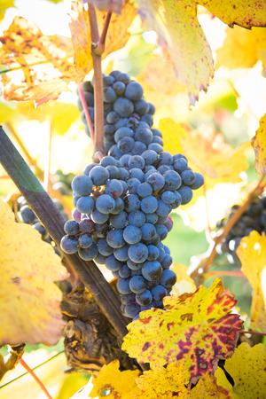 Mature organic red wine grapes in the natural vineyard Stock Photo