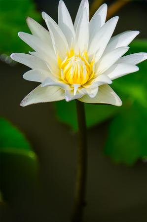 White lotus flower in the morning.