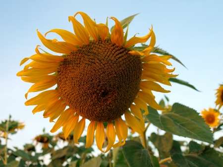 A closeup of a sunflower in a field photo