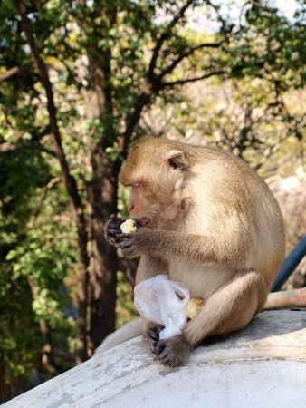 A Crab-eating Macaque eating a corncob in Saraburi, Thailand  photo