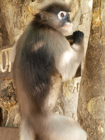 The spectacled Langur is also known as the Dusky Leaf Monkey or Spectacled Leaf Monkey  They belong to the Cercopithecidae family and are found in Malaysia, Myanmar, and Thailand photo
