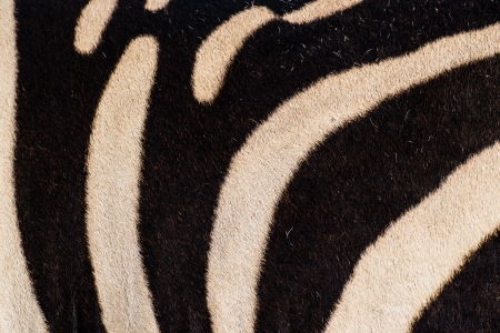 Zebra skin background, texture photo