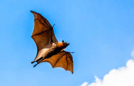 genitali: Volpe volante sul cielo blu