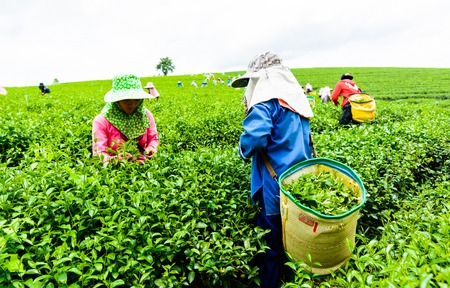 CHIANG RAI, THAILAND - JULY 18 : Young women  harvesting green tea leaves on farmland of tea plantation on July 18, 2015 at Chiang rai, Thailand Editorial