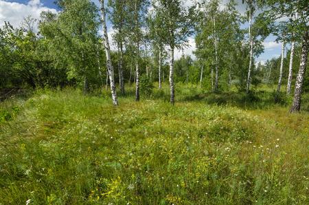 Birch forest with dense grass