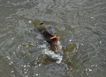 a hungry carp is surfacing trying to swallow bread photo