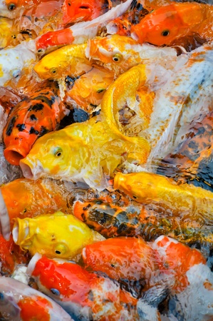 a school of colorful koi carps surfaces in a feeding frenzy Stock Photo - 10292593