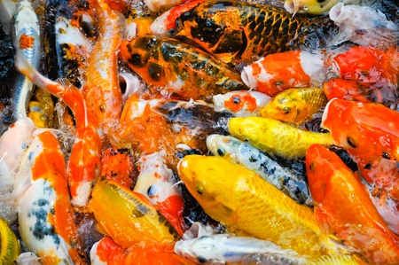 a school of colorful koi carps surfaces in a feeding frenzy photo