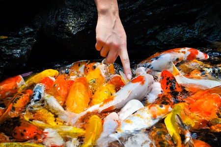 chagoi: hand touching colorful koi carps surfaceing in a feeding frenzy