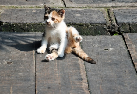 interrupted: cute tortoiseshell kitten interrupted while cleaning itself Stock Photo