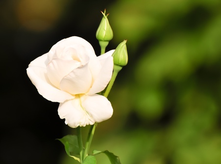 close up shot of a white rose blossom with buds photo