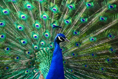 peacock wheel: male peacock displaying his colorful feathers