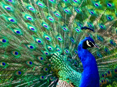 peacock eye: male peacock displaying his colorful feathers