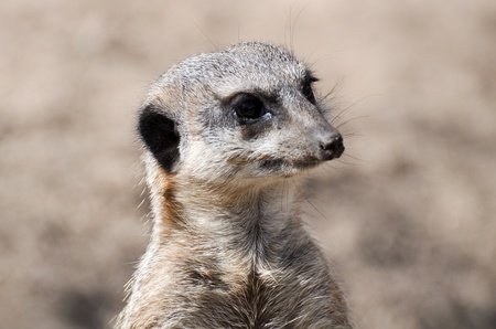 curious meerkat on the lookout Stock Photo - 13590127