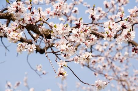 close-up van abrikoos bloesems tegen de blauwe hemel Stockfoto