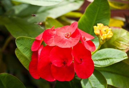 Poy-Sian flower (Crown of thorns) photo