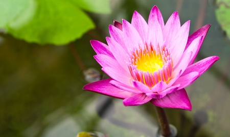 pink lotus  Stock Photo - 11384951