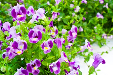 torenia flowers photo