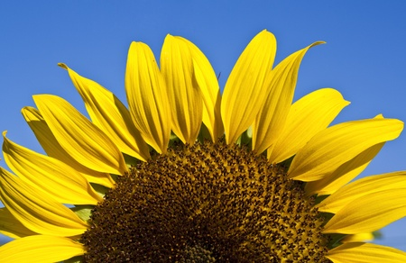 a sun flower seemed as the sun in blue sky