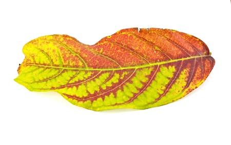 cashew tree: autumn leaf of Cashew Nut Tree