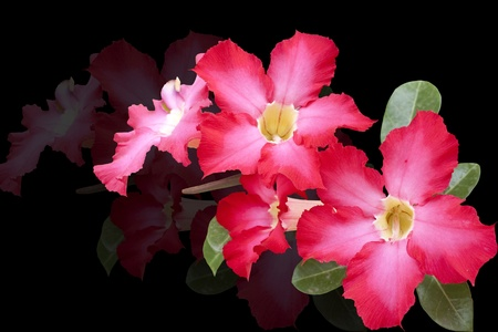 isolated impala lily   Adenium obesum Balf   on black background photo