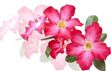 isolated impala lily   Adenium obesum Balf   on white background photo