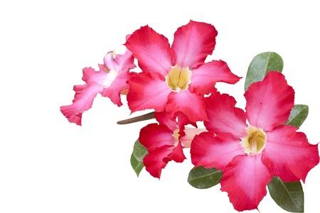 adenium obesum balf: isolated impala lily   Adenium obesum Balf   on white background