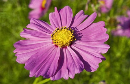 pink cosmos flower Stock Photo - 13177215