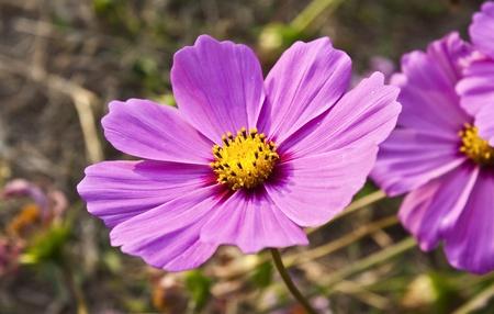 pink cosmos flower photo