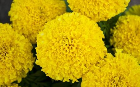 yellow marigold flower photo