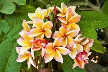frangipani  plumeria, templetree  flower  photo