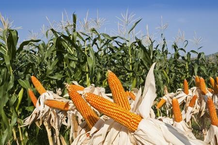 field corn for feeding livestock  livestock fodder