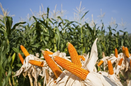 field corn for feeding livestock  livestock fodder Stock Photo - 13486664