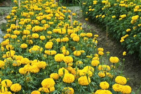flowerbed of yellow marigold flower