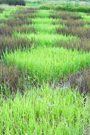 checked design of paddy field  between  black sticky rice or purple rice  dark color  and thai jasmine rice or thai hom mali  green color Stock Photo
